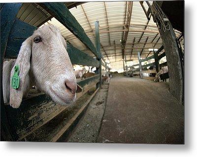 Goat Farming Metal Print by Photostock-israel
