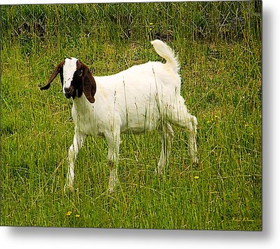 Goat Fun Metal Print by Wendy McKennon