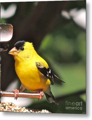 Metal Print featuring the photograph Gold Finch by Eve Spring