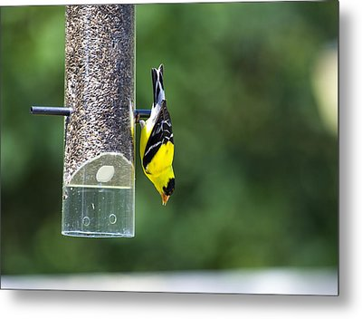 Gold Finch Metal Print by Richard Lee