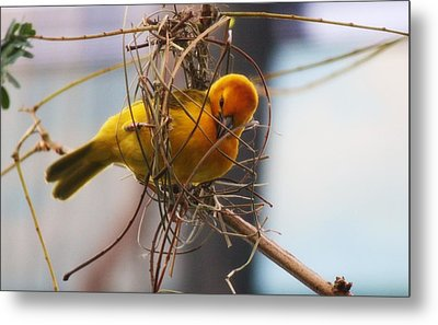 Gold Weaver Metal Print by Paulette Thomas