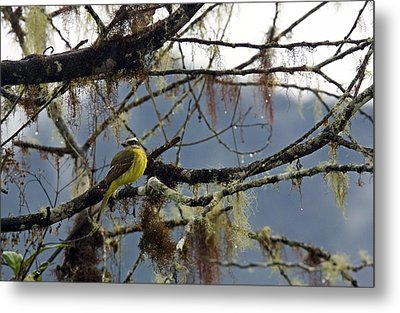 Golden-crowned Flycatcher Metal Print by Bob Gibbons