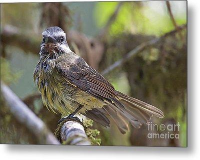 Golden--crowned Flycatcher Metal Print