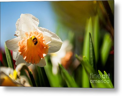 Golden Daffodils  Metal Print