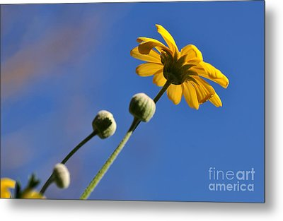 Golden Daisy On Blue Metal Print by Kaye Menner