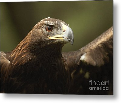 Metal Print featuring the photograph Golden Eagle by Doug Herr