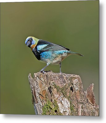 Golden-hooded Tanager Metal Print