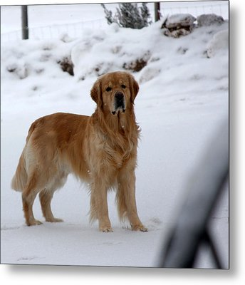 Golden In Snow Metal Print by Marta Alfred