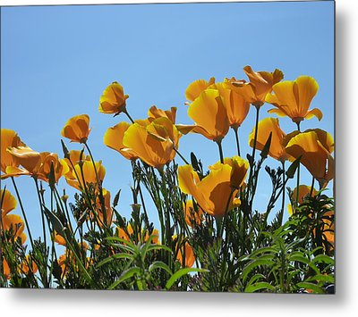Metal Print featuring the photograph Golden Poppies Basking In The Sun by Cindy Wright