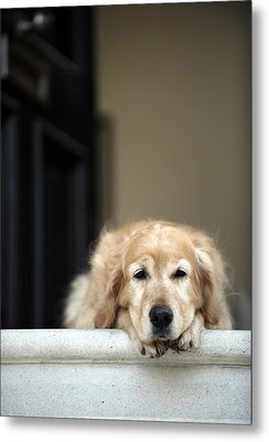 Golden Retriever Dog Lying In Front Door Of House, Looking Away (focus On Foreground) Metal Print by Janie Airey