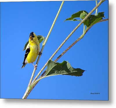 Goldfinch On Sunflowers Metal Print by Stephen  Johnson