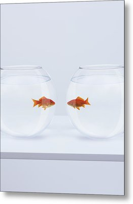 Goldfish In Separate Fishbowls Looking Face To Face Metal Print by Adam Gault