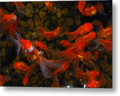 Metal Print featuring the photograph Goldfish by Luis Esteves