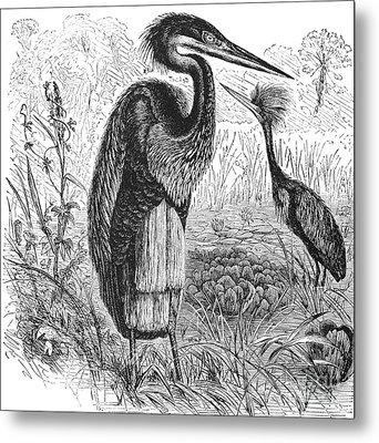 Goliath Heron Metal Print by Granger
