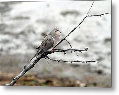 Metal Print featuring the photograph Good Morning Dove by Elizabeth Winter