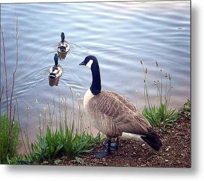 Metal Print featuring the photograph Goose And Ducks by Kelly Hazel