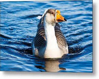 Metal Print featuring the photograph Goose Coming Into Shore  by Ann Murphy