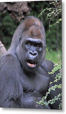 Gorilla Metal Print by Mike Martin