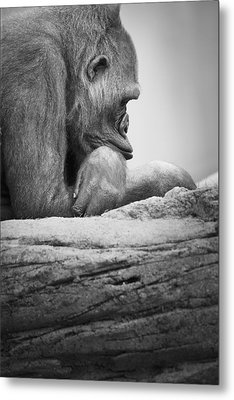 Gorilla Resting Metal Print by Darren Greenwood