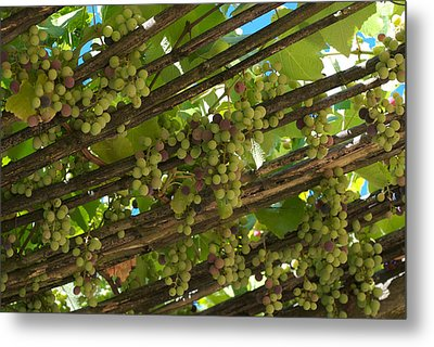 Grapes Grow On Vines Draped Metal Print by Heather Perry