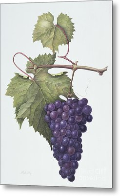 Grapes  Metal Print by Margaret Ann Eden