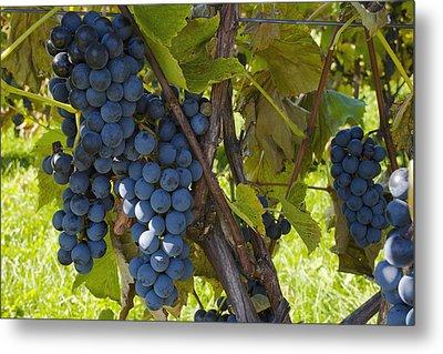Grapes On A Vine Sutton Junction Quebec Metal Print by David Chapman