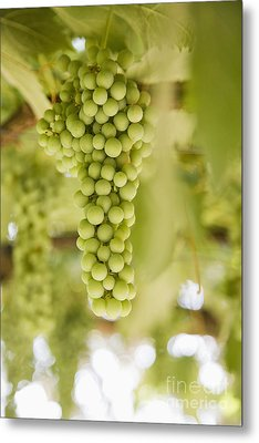 Grapes On Vine Metal Print by Andersen Ross
