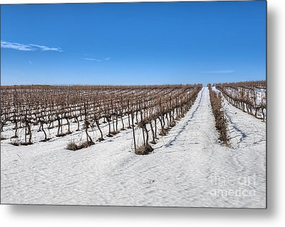 Grapevines In Snow Metal Print by Noam Armonn