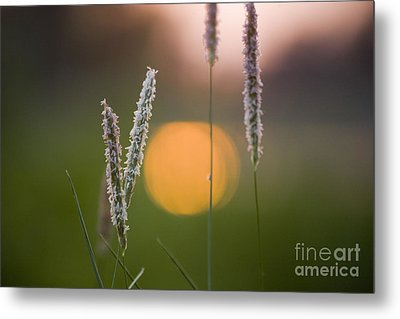 Grass Blooming Metal Print by Heiko Koehrer-Wagner