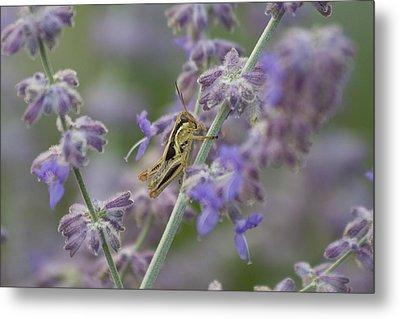 Grasshopper Metal Print by Michel DesRoches