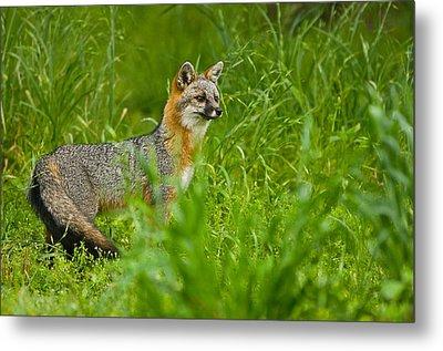 Gray Fox - 5380 Metal Print