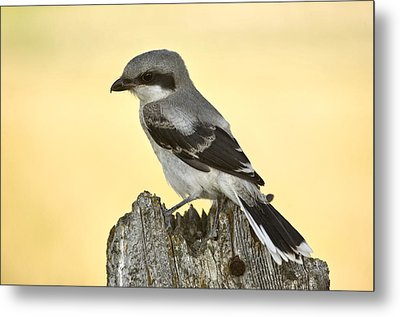 Gray Grey Jay Young Metal Print