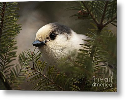 Gray Jay Playing Peek A Boo Metal Print by Inspired Nature Photography Fine Art Photography