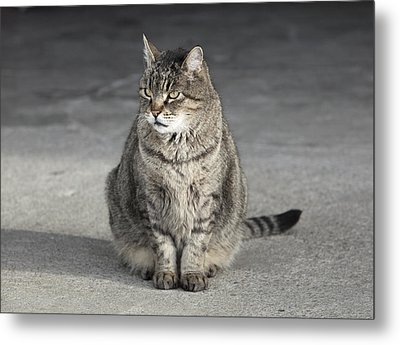Gray Tabby Cat Sitting On Concrete Floor Metal Print