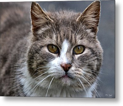 Metal Print featuring the photograph Gray Tabby Tux Cat by Chriss Pagani