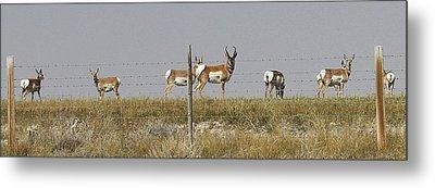 Grazing Antelope Metal Print by Bruce Bley