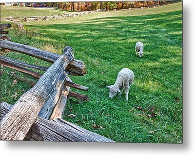 Grazing Farm Animals At Booker T. Washington National Monument Park Metal Print by James Woody