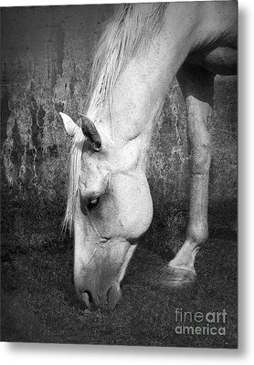 Grazing In Black And White Metal Print by Betty LaRue