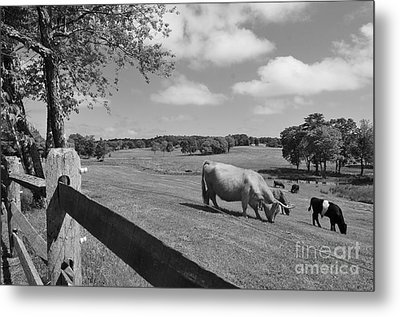 Grazing The Day Away Metal Print by Catherine Reusch Daley