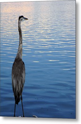 Great Blue Metal Print by Christy Usilton