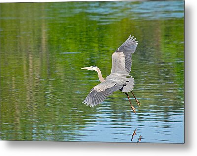 Great Blue Heron - Where To Now Metal Print by Mary McAvoy