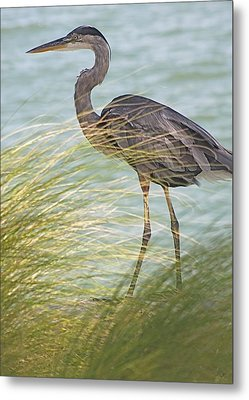 Great Blue Heron And Grass Metal Print