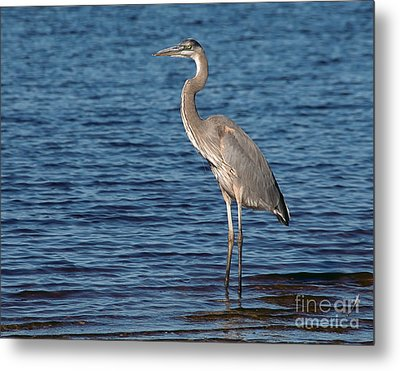 Great Blue Heron Metal Print by Art Whitton