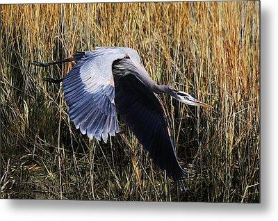 Great Blue Heron Flying In The Marsh Metal Print by Paulette Thomas