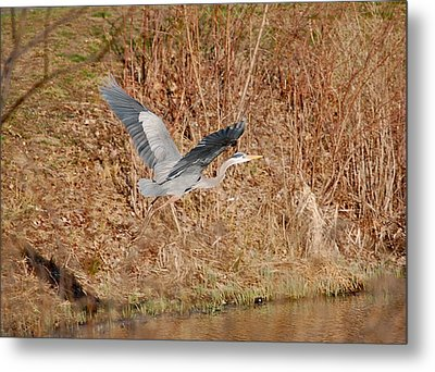 Great Blue Heron In Flight Metal Print by Mary McAvoy