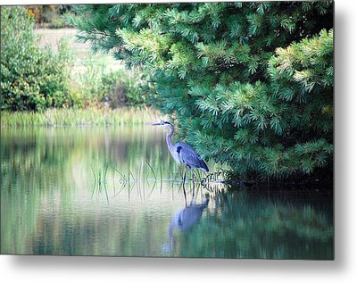 Great Blue Heron In Pines Metal Print by Mary McAvoy
