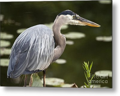 Metal Print featuring the photograph Great Blue Heron  by Jeannette Hunt
