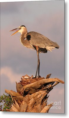 Great Blue Heron Metal Print by Jennifer Zelik