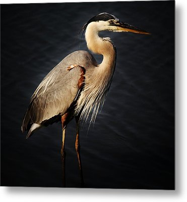 Great Blue Heron Metal Print by Paulette Thomas