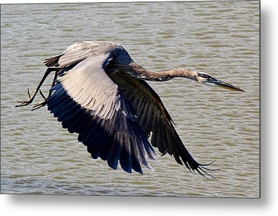 Great Blue Heron Soaring Metal Print by Paulette Thomas